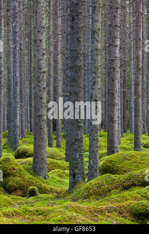 Norway spruces / European spruce (Picea abies) tree trunks covered in lichen in coniferous forest with moss carpet - Stock Photo