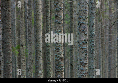 Norway spruces / European spruce (Picea abies) tree trunks covered in lichen in coniferous forest - Stock Photo