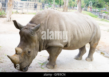 A close up of a female rhino / rhinoceros and her calf. Showing off her beautiful horn. Protecting her calf. South - Stock Photo