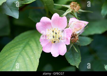 Beetles feeding on the nectar of Dog-rose (Rosa canina) flowers, England, UK. - Stock Photo