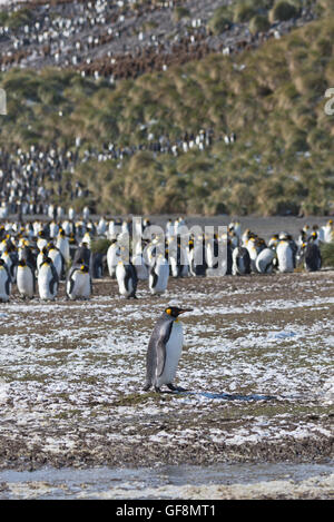 A lone King Penguin walking in front of the penguin colony at Salisbury Plain in South Georgia. - Stock Photo