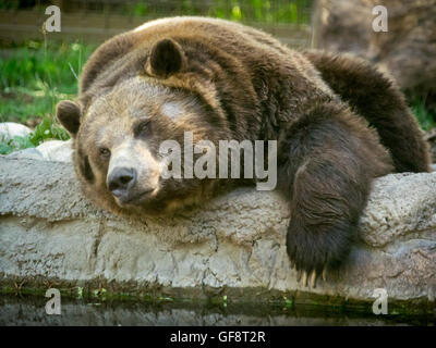 Skoki, a large male grizzly bear, acting lazy at the Calgary Zoo in Calgary, Alberta, Canada. - Stock Photo
