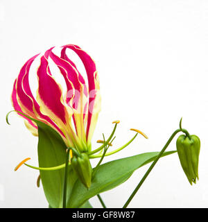 The flower of the Gloriosa superba 'Rothschildiana' ( also known as the Glory Lily ) prior to the opening out of - Stock Photo