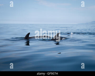 Pod of pilot whales showing their dorsal fins in calm water in the Gulf of St. Lawrence - Stock Photo