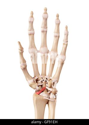 Human hand ligaments, illustration Stock Photo: 112680808 - Alamy