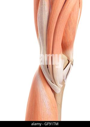 Human Knee Muscles Stock Photo 9667990 Alamy