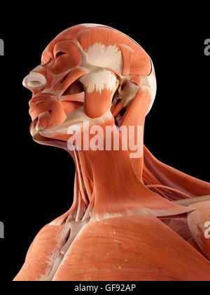 Human muscles of the head and neck, illustration. - Stock Photo