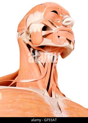 Human face and neck muscles, illustration. - Stock Photo