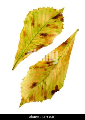 Horse chestnut (Aesculus hippocastanum) leaves, studio shot. - Stock Photo