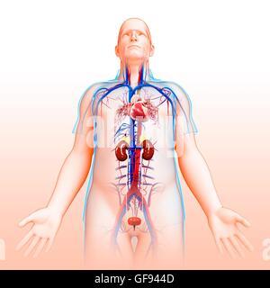 Human Urinary System Kidneys with Circulatory System Anatomy