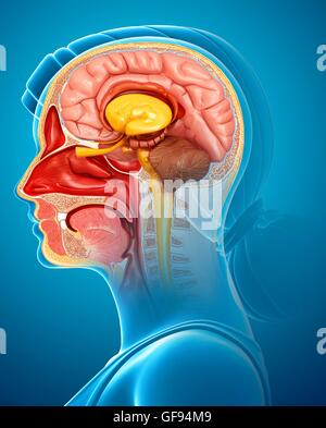 Illustration of brain anatomy with nasal cavity. - Stock Photo