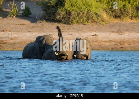 Three African elephants Loxodonta africana fording the Chobe river in Kasane, Botswana - Stock Photo