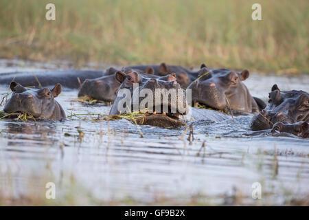 A herd of hippopotamus  Hippopotamus amphibius wallowing in shallow water on the Chobe river in Botswana - Stock Photo