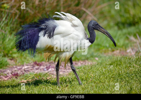 African sacred ibis Threskiornis aethiopicus view of profile, walking on grass - Stock Photo