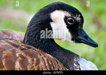 Profile portrait Canada goose (Branta canadensis) - Stock Photo