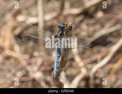 Male keeled skimmer dragonfly (Orthetrum coerulescens) in Surrey, England - Stock Photo