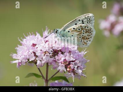 Male chalkhill blue butterfly (Polyommatus coridon) in chalk grassland habitat in Hampshire, England - Stock Photo