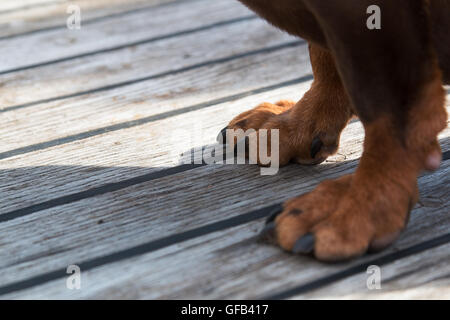 Paws of a big brown dog on the wooden floor. - Stock Photo