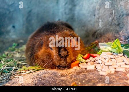 beaver sleeping and eating - Stock Photo