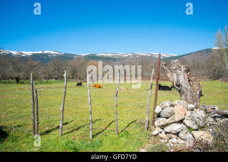 Meadow and cows. Sierra de Guadarrama National Park, Rascafria, Madrid province, Spain. - Stock Photo