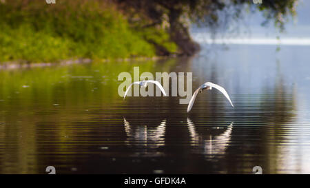 Happily ever after, Happy ending Flying together, partnership, love, Little Egrets, fairy tales - Stock Photo