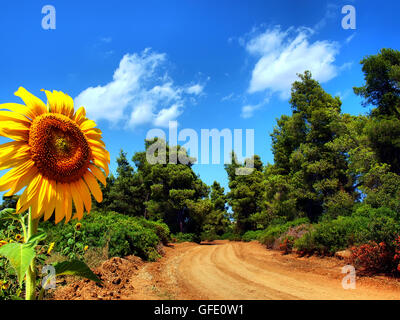 sunflower looking at the sun in a field near the village Athitos in Kassandra Chalkidiki Greece - Stock Photo