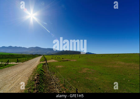 Group of  Sheep in contre-jour, Calendon, South Africa
