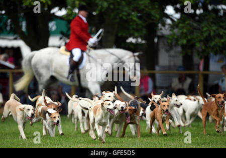 Hounds from the Warwickshire Hunt parade during The Game Fair 2016 at Ragley Hall in Alcester, Warwickshire. - Stock Photo