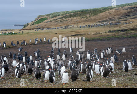 Moulting adult and young   Long-tailed Gentoo penguins  (Pygoscelis papua) and  Megellanic Penguins (Spheniscus - Stock Photo