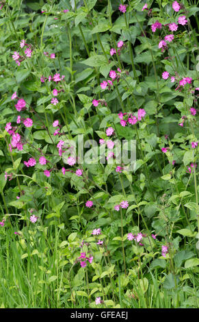 Red Campion (Silene dioica) in a spring hedgerow, England, UK - Stock Photo