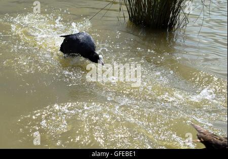 Eurasian coot (Fulica atra) chasing female mallard duck - Stock Photo