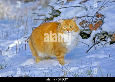 Beautiful long-haired ginger tabby  Cat walking on snow - Stock Photo