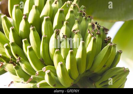 Bunch of bananas on a banana plantation in India - Stock Photo