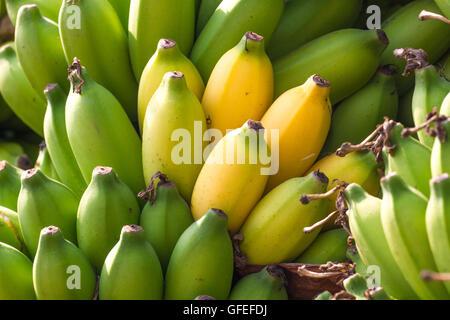Bunch of bananas on abanana plantation in India - Stock Photo