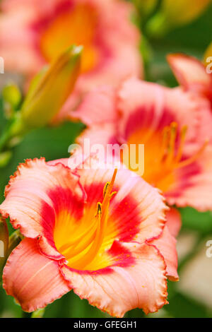 Orange lily flowers close up detail - Stock Photo