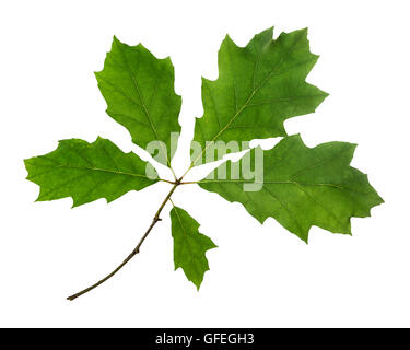 Red oak leaves cut out on white background - Stock Photo