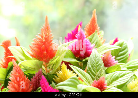 colorful cockscomb flower in soft mood - Stock Photo