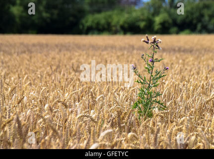 Thistle flower standing out in a field - Stock Photo
