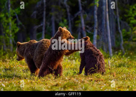 Brown bear cubs playing with each other, Finland. - Stock Photo