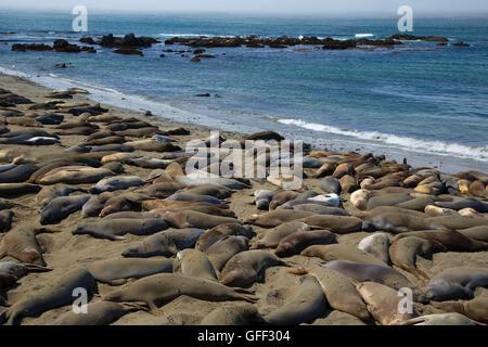 Elephant seals at Elephant Seal Boardwalk, Hearst San Simeon State Park, California - Stock Photo