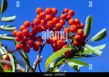 European Rowan Sorbus aucuparia, mountain-ash red autumn berries - Stock Photo
