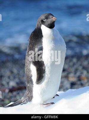An Adélie penguin (Pygoscelis adeliae) stands on a lump of ice.   Brown Bluff, Antarctic Peninsula. Antarctica. - Stock Photo