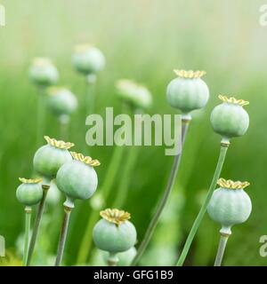 Closeup of closed poppy (Papaveraceae) heads in a field - Stock Photo