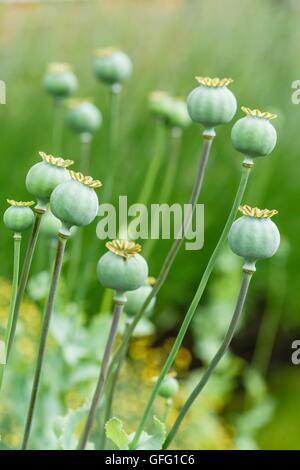 Green poppy (Papaveraceae) seed heads in a garden - Stock Photo