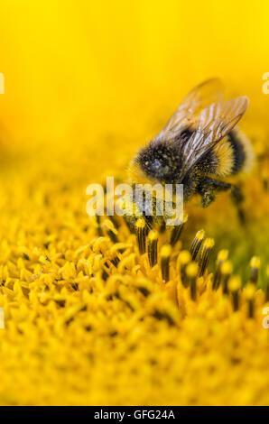 Bees on Sunflower plants - Stock Photo