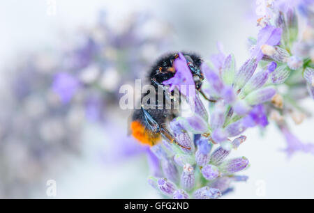 Bees on Lavender plants - Stock Photo