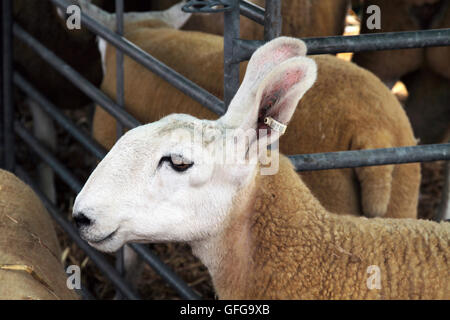 Border Leicester sheep - Stock Photo