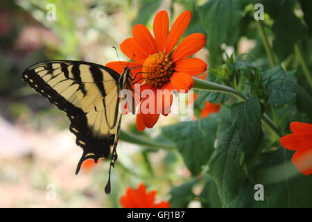 Eastern Tiger Swallowtail  butterfly feeding on Mexican Sunflower - Stock Photo
