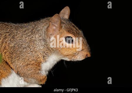Portrait of a grey squirrel or eastern gray squirrel (Sciurus carolinensis) on black - Stock Photo