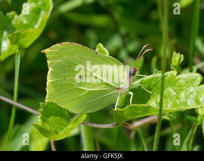 Male brimstone butterfly (Gonepteryx rhamni) in Hampshire meadow habitat in England - Stock Photo